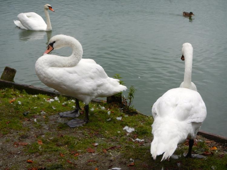 Schloss Leopoldskron Swans riverside