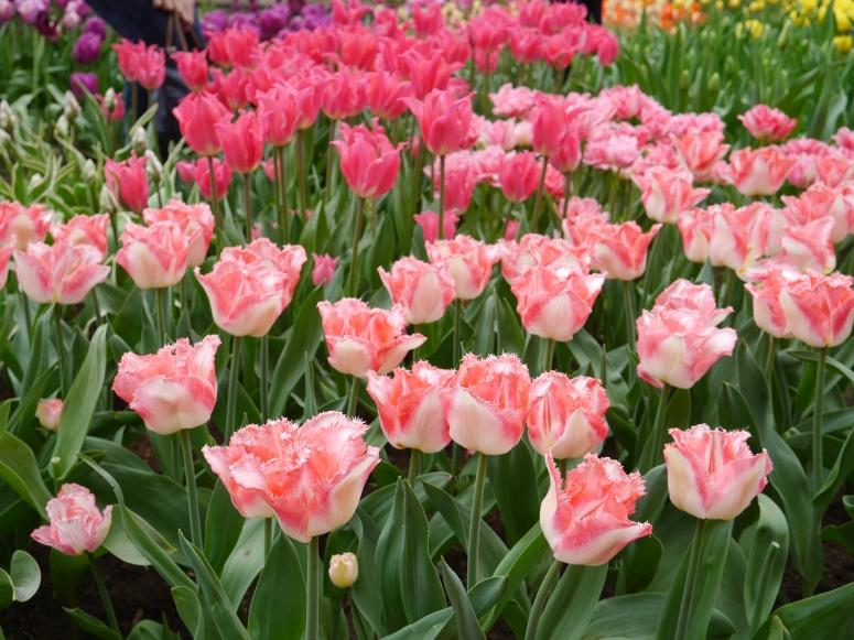 Keukenhof Spring Flowers