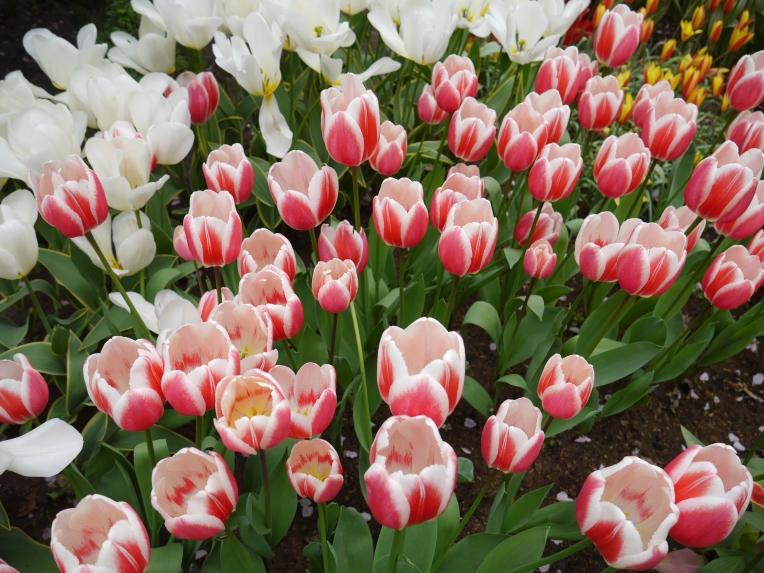 Keukenhof Spring Flowers 9