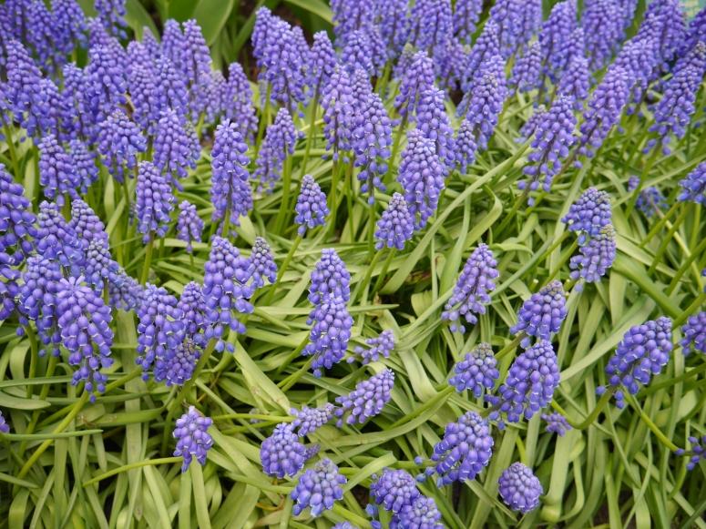 Keukenhof Spring Flowers 14