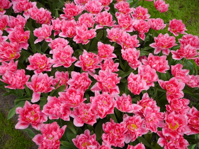 Keukenhof Spring Flowers 22