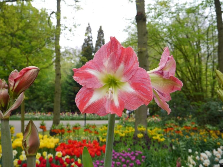 Netherlands Tulips