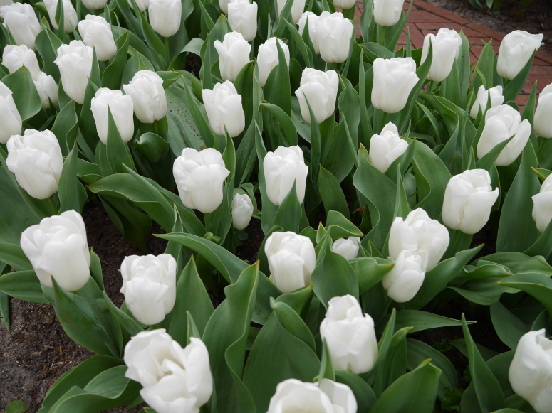 White Flowers Holland