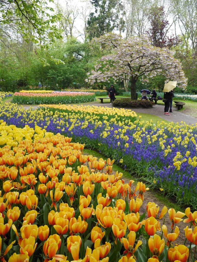Yellow and Purple Tulips