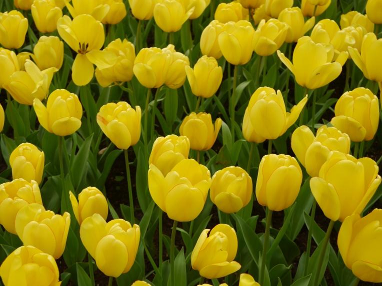 Yellow Tulips Lisse