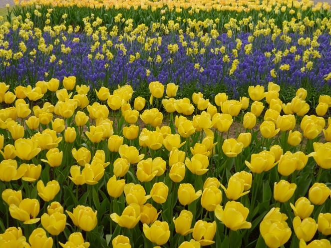 Seasonal Yellow Tulips