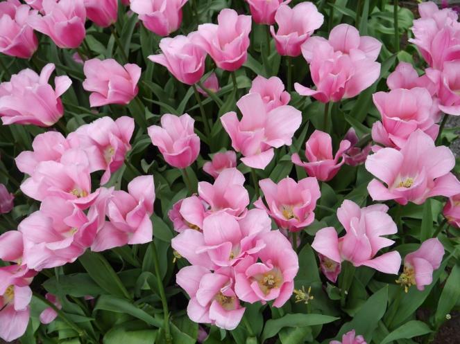 Pink Holland