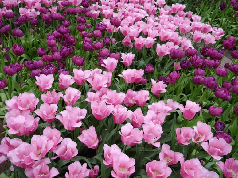 Pink Netherlands