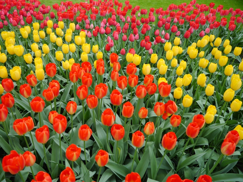 Blooming Tulips Garden