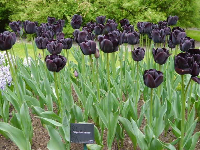 Goth Black Tulips