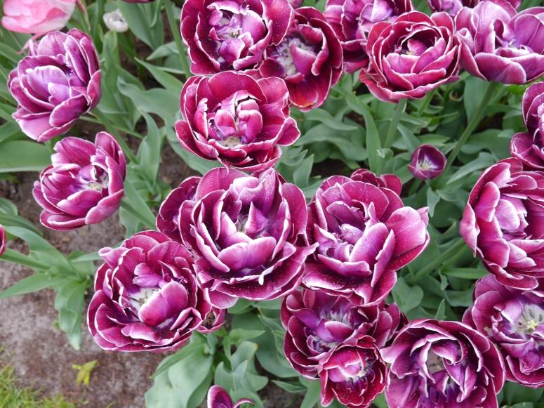 Purple Flowers Holland