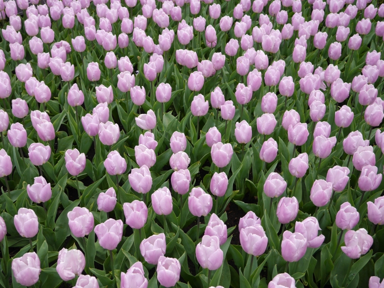 Pale Lavendar Tulips