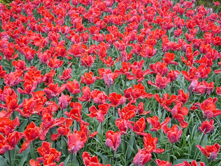 Red Flowers Holland Netherlands