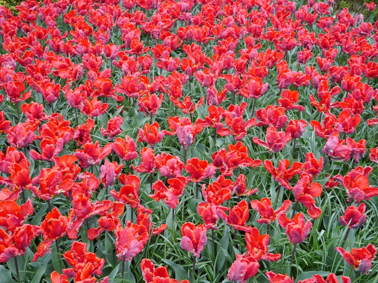 Red Flowers Holland Netherlands