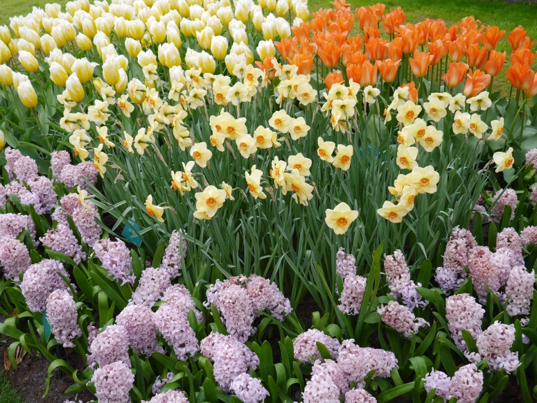 Lavendar and Yellow Tulips