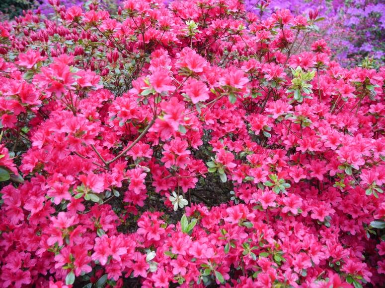 Pink Flowers Netherlands Lisse