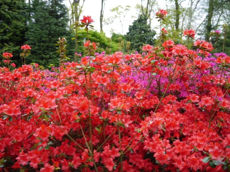 Red Flowers Lisse Keukenhof