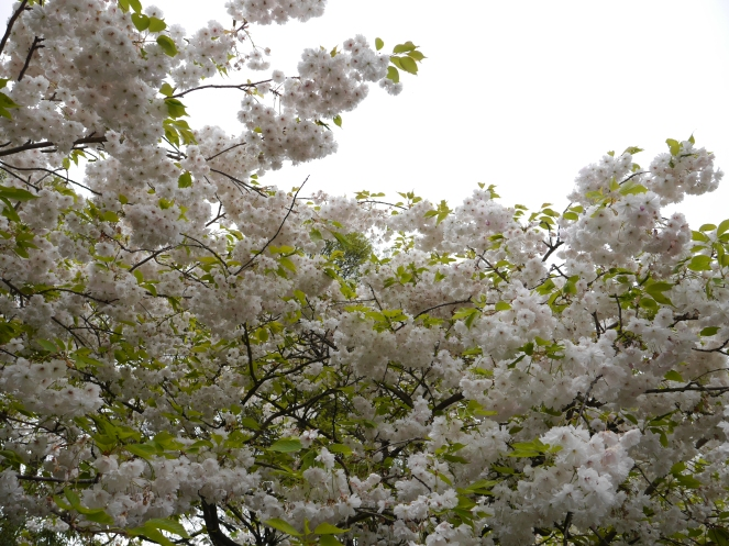 White Sakura Flowers