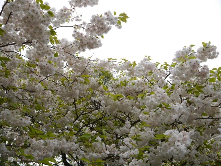 White Sakura Flowers
