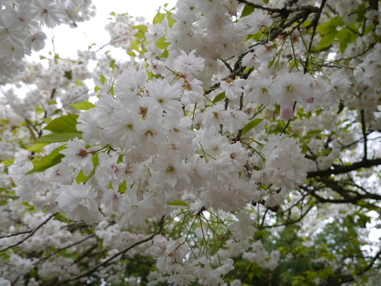 Japanese Sakura flowers in Europe