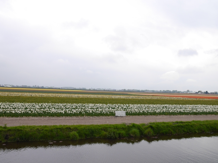 crops of tulips